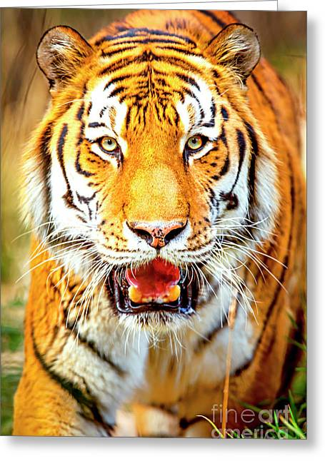 Greeting Card featuring the photograph Tiger On The Hunt by David Millenheft