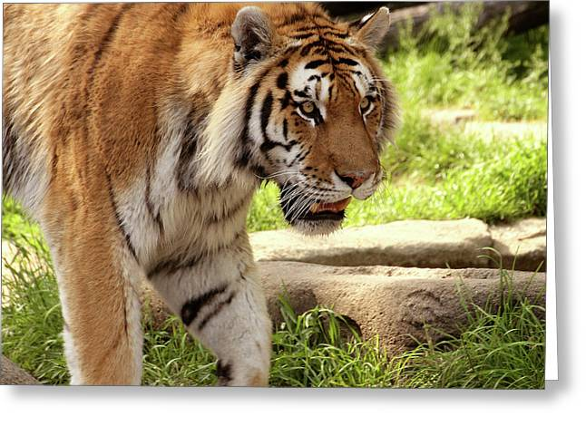 Tiger On The Hunt Greeting Card by Gordon Dean II