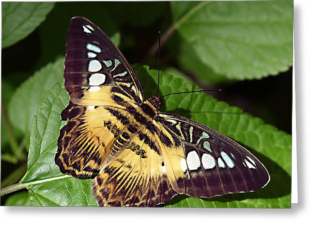 Tiger Print --- Clipper Butterfly Greeting Card