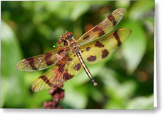 Tiger Striped Dragonfly Greeting Card