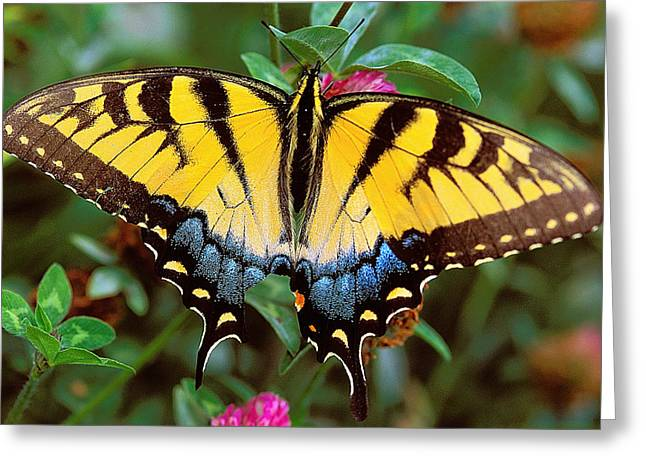 Tiger Swallowtail Greeting Card by Alan Lenk