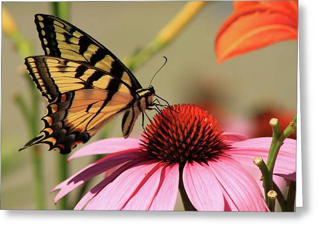 Tiger Swallowtail Butterfly Coneflower Greeting Card by John Burk