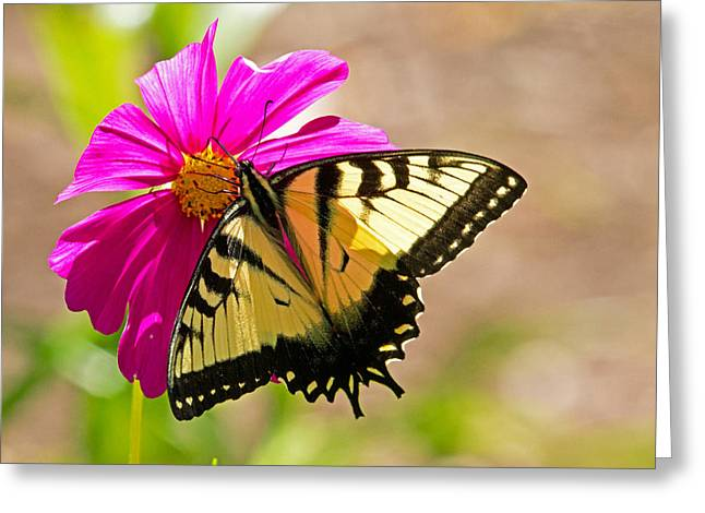 Tiger Swallowtail Butterfly. Greeting Card by David Freuthal