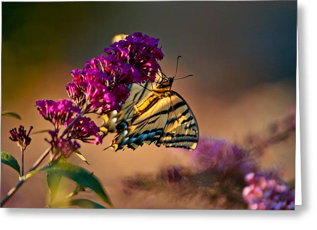 Tiger Swallowtail Butterfly Greeting Card by Laura Scott