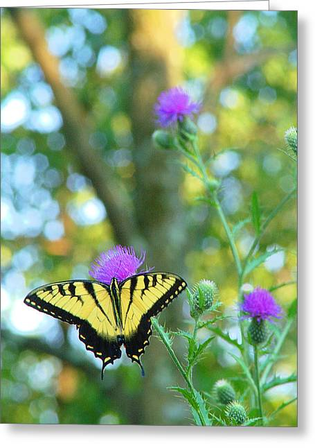 Tiger Swallowtail Butterfly Greeting Card by Robert  Suits Jr