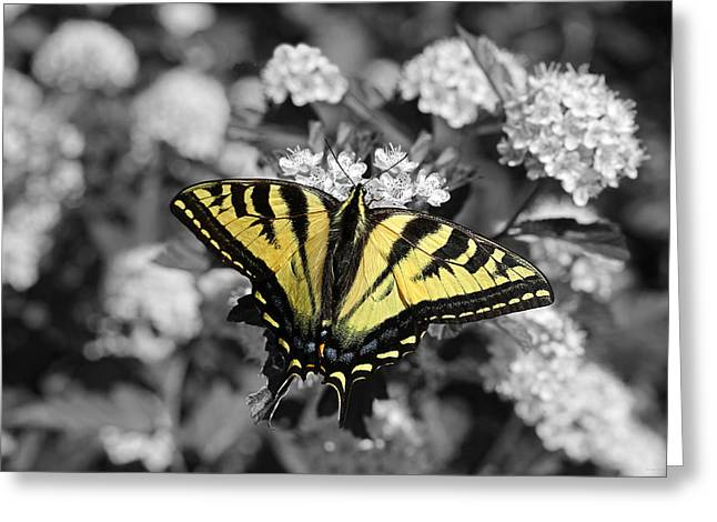 Tiger Swallowtail Greeting Cards - Tiger Swallowtail Butterfly Selective Color Greeting Card by Jennie Marie Schell