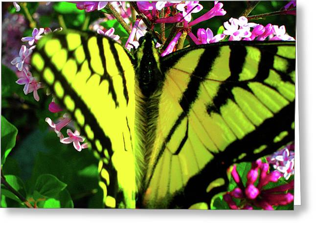 Tiger Swallowtail On Lilac Greeting Card by Randy Rosenberger