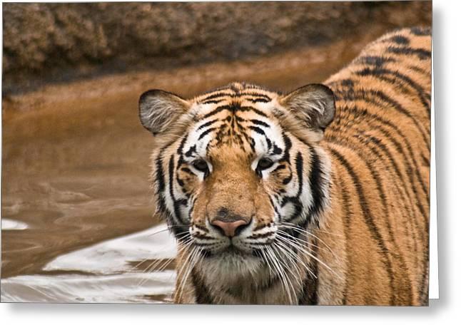 Tiger Wading Stream Greeting Card by Douglas Barnett