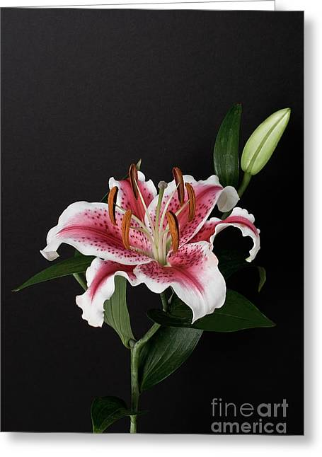 Tiger Woods Lily Greeting Card