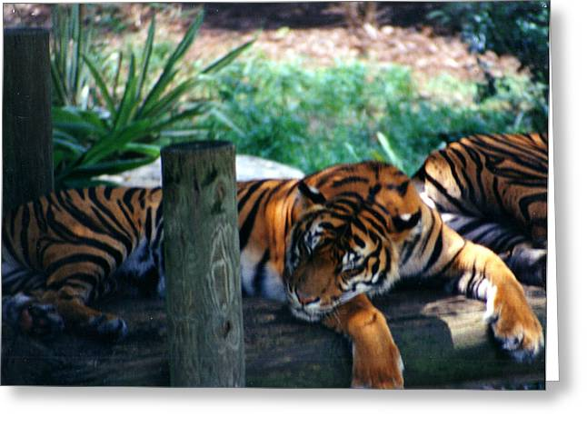 Tigers Sleeping Greeting Card by Steve  Heit