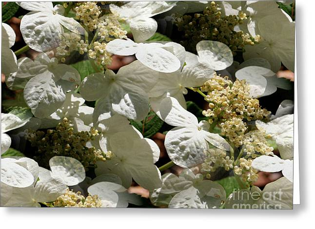 Tiled White Lace Cap Hydrangeas Greeting Card