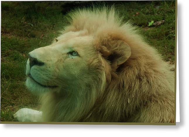 Greeting Card featuring the photograph Timbavati White Lion by Chris Flees