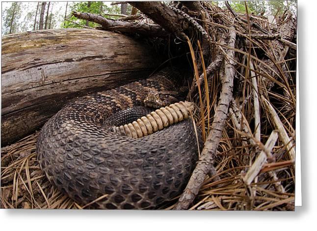 Timber Rattlesnake Greeting Card