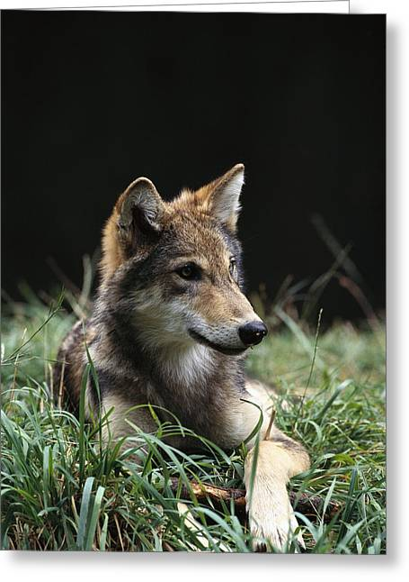 Timber Wolf Canis Lupus Portrait Greeting Card