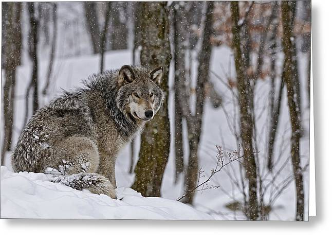 Greeting Card featuring the photograph Timber Wolf In Winter by Michael Cummings