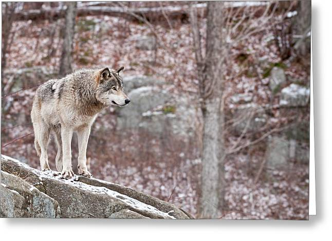 Black. Timber Wolf Photography Greeting Cards - Timber Wolf On Rocks Greeting Card by Michael Cummings