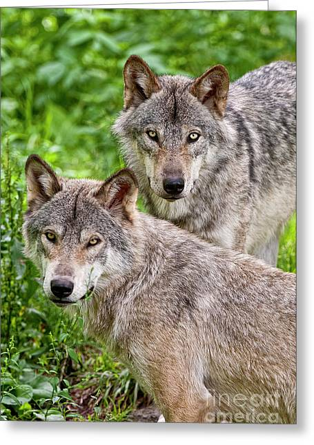 Timber Wolf Pair Greeting Card by Michael Cummings