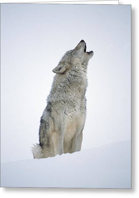 Timber Wolf Portrait Howling In Snow Greeting Card