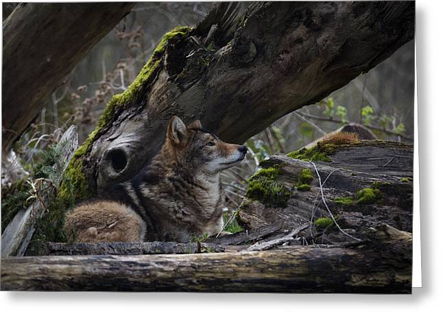 Timber Wolf Greeting Card by Randy Hall