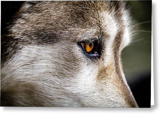 Greeting Card featuring the photograph Timber Wolf Stare by Teri Virbickis
