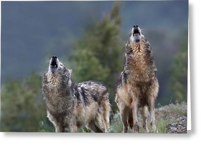 Timber Wolves Howling Greeting Card by Tim Fitzharris