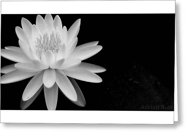 Black And White -timeless Lily Greeting Card