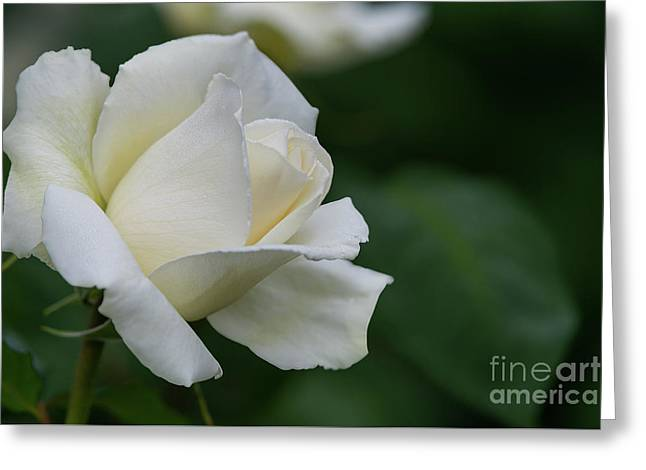 Tineke Rose 1 Greeting Card