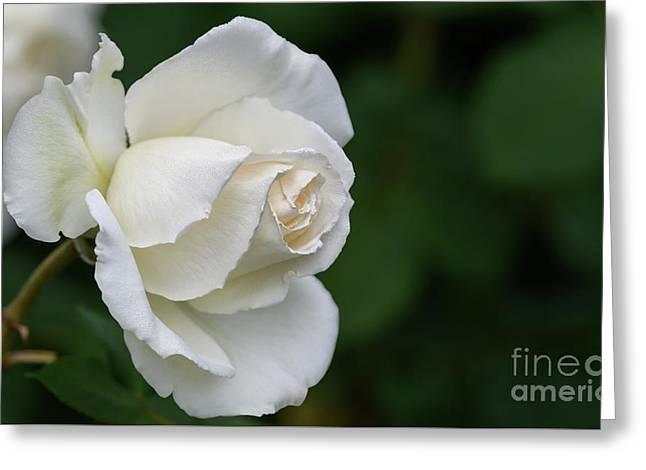 Tineke Rose 2 Greeting Card