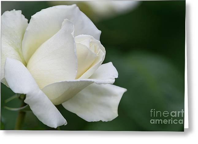 Tineke Rose 4 Greeting Card