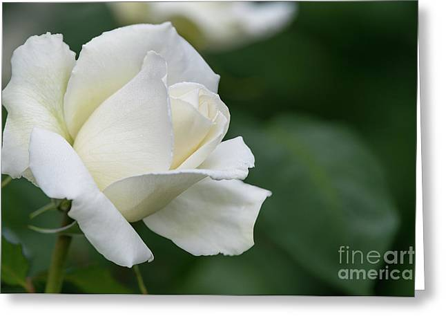 Tineke Rose 5 Greeting Card