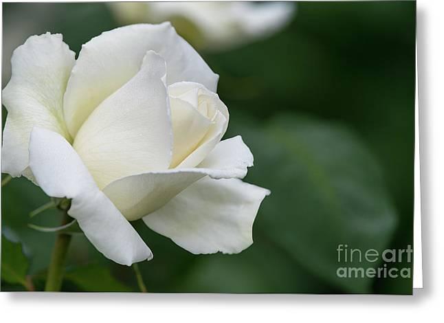 Tineke Rose 5 Greeting Card