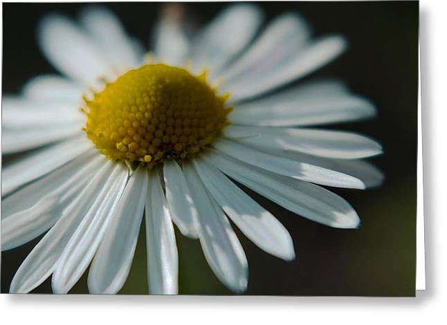 Greeting Card featuring the photograph Tiny Daisy Wild Flower by Karen Musick