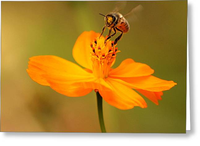 Bumblebee Greeting Cards - Tiny Dancer Greeting Card by Marion Cullen