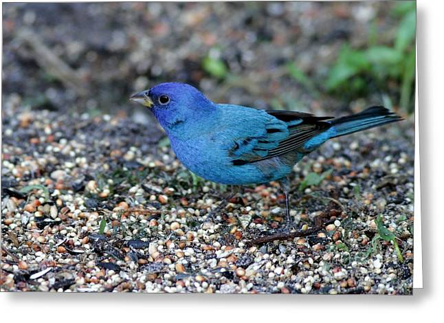 Tiny Indigo Bunting Greeting Card