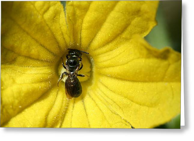 Tiny Insect Working In A Cucumber Flower Greeting Card by Bonnie Boden