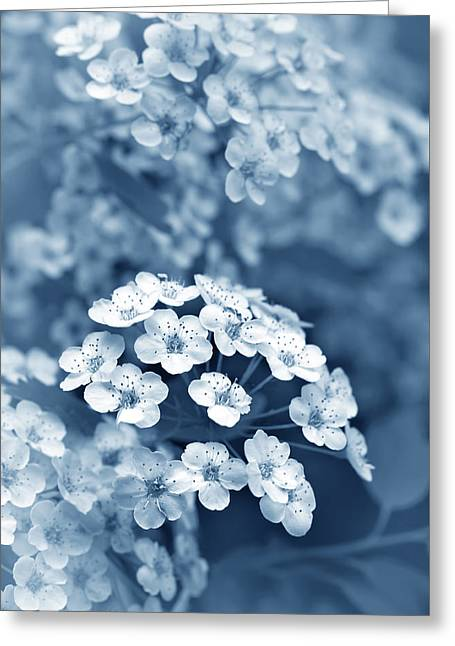 Tiny Spirea Flowers In Blue Greeting Card by Jennie Marie Schell