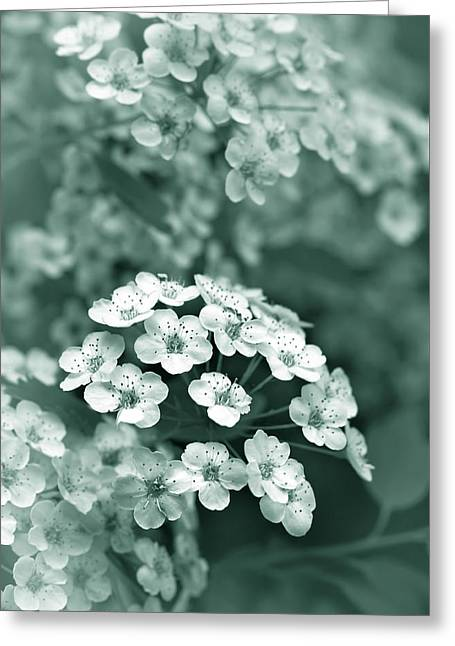 Tiny Spirea Flowers In Teal Greeting Card by Jennie Marie Schell