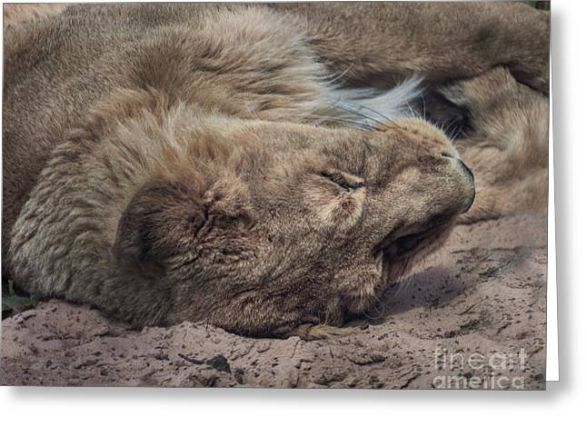 Tired Lion Greeting Card