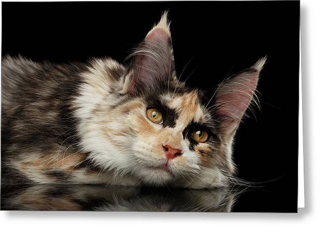 Tired Maine Coon Cat Lie On Black Background Greeting Card