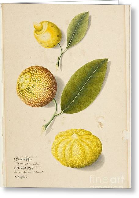 Title Plant Study Sweet Lemon Greeting Card by MotionAge Designs
