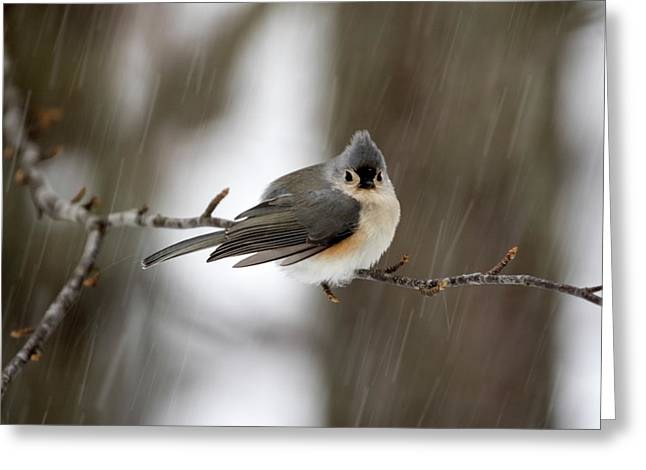 Titmouse During Snow Storm Greeting Card
