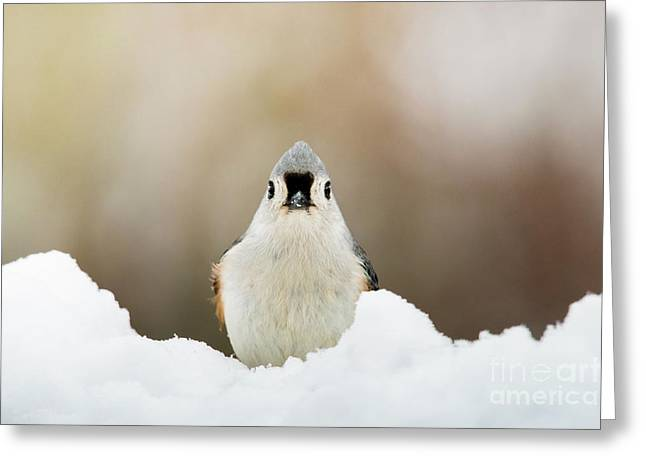 Tufted Titmouse In Snow Greeting Card