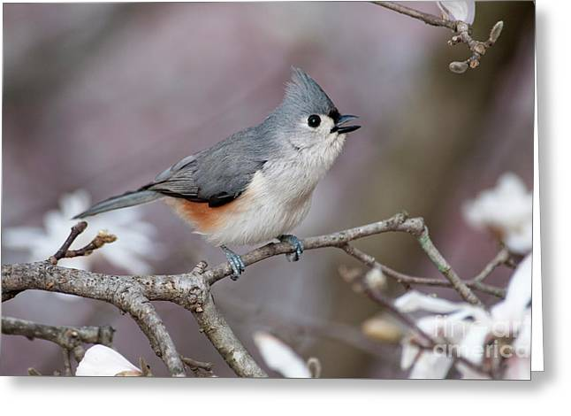 Greeting Card featuring the photograph Titmouse Song - D010023 by Daniel Dempster