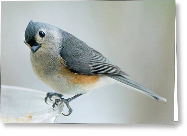 Greeting Card featuring the photograph Titmouse With Walnuts by Shara Weber