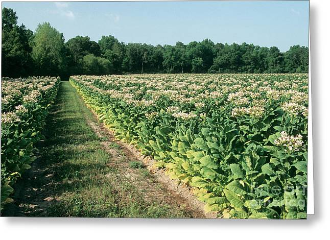 Tobacco In Flower Greeting Card by Inga Spence