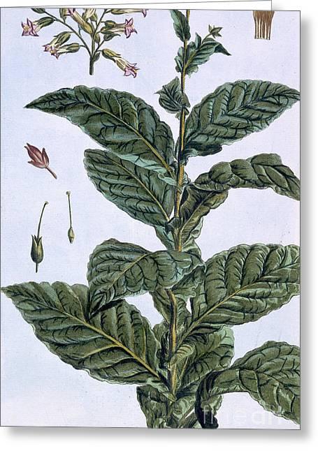 Tobacco Plant Greeting Card by Pierre-Joseph Buchoz