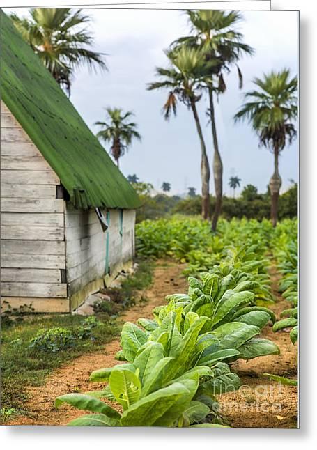 Tobacco Plantation Greeting Card