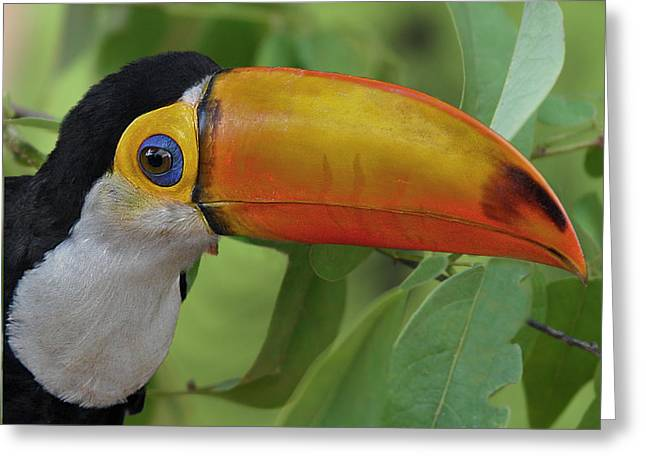 Toco Toucan 2 Greeting Card