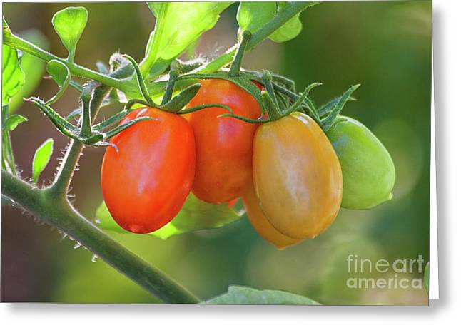 Tomatos For All Greeting Card
