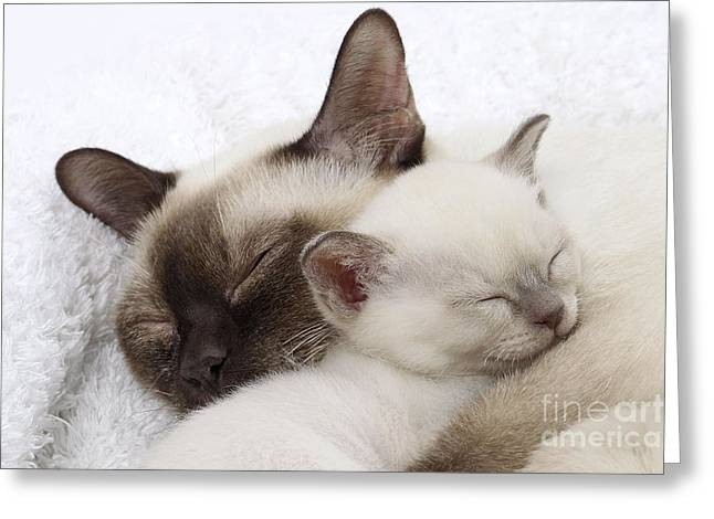 Tonkinese Cat And Kitten Greeting Card by Jean-Michel Labat